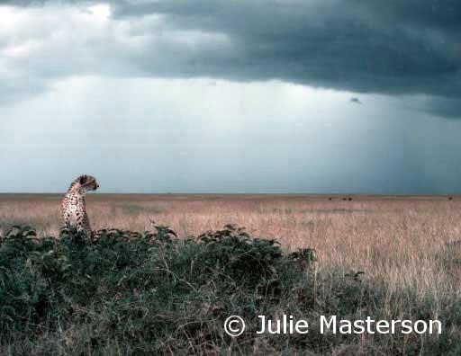 Cheeta on the Hunt