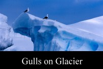 Gulls on Glacier